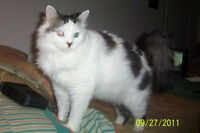 """Adult Male Cat - Maine Coon: """"KING"""""""