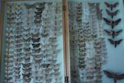 Taxidermy Moth