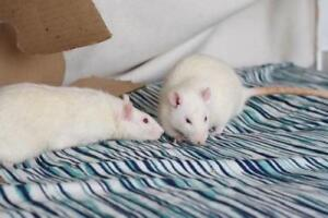 """Adult Male Small & Furry - Rat: """"Miguel & Ricardo"""""""