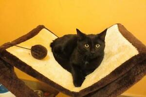 """Young Male Cat - Domestic Short Hair: """"Yuri"""" West Island Greater Montréal image 2"""