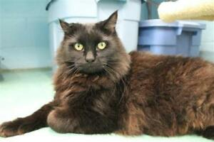 "Adult Male Cat - Domestic Medium Hair: ""Tank"""