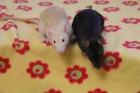 """Baby Female Small & Furry - Rat: """"Noir & Lilac"""""""