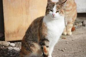Female Cat - Domestic Short Hair (Orange & White)-Tabby (Brown)