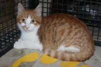 "Young Male Cat - Domestic Short Hair: ""Elroy"""