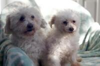"Senior Female Dog - Poodle-Maltese: ""Oscar and Belle"""