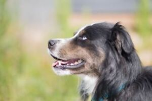 "Adult Male Dog - Bernese Mountain Dog-Husky: ""Max"""