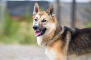 "Adult Male Dog - Shepherd: ""Lucas"""