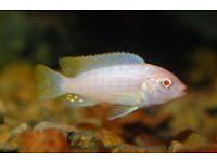 Albino Zebra Malawi Cichlid Live aquarium fish