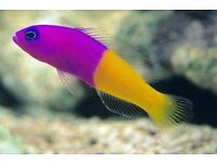 MARINE FISH / LOVELY LITTLE ROYAL DOTTYBACK FISH , GREAT COLOUR
