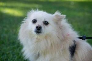"Adult Female Dog - Pomeranian: ""Paris"""