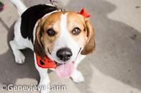 "Adult Male Dog - Beagle-Basset Hound: ""Whiskey"""
