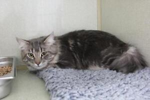 "Adult Male Cat - Domestic Medium Hair: ""Will"""