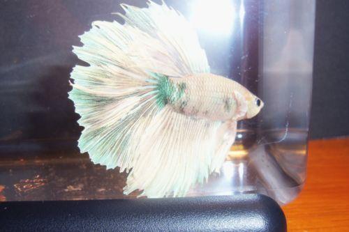 White betta live fish ebay for Ebay betta fish