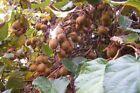 Kiwi Fruit Plant Seeds