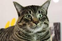 "Adult Male Cat - Domestic Short Hair: ""Burly"""