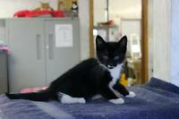 """Baby Male Cat - Domestic Short Hair-black and white: """"Murdoch"""""""