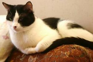 """Adult Male Cat - Domestic Short Hair-black and white: """"Huey"""""""