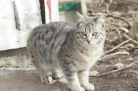 "Adult Male Cat - Tabby - Grey: ""Lynx"""