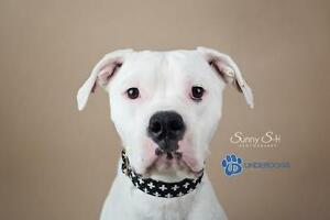 "Adult Female Dog - American Bulldog: ""Chloe"""