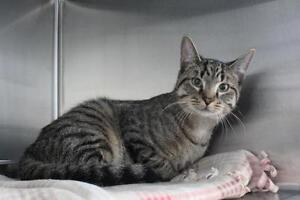 "Adult Male Cat - Domestic Short Hair: ""Vegas"""