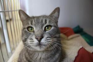 "Adult Female Cat - Domestic Short Hair: ""Elodie"""