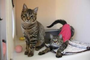 "Young Male Cat - Domestic Short Hair: ""Astro & Jane"""