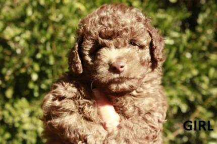 Maltese Shih Tzu X Poodle Dogs Puppies Gumtree Australia