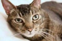 "Senior Male Cat - Domestic Short Hair-Tabby: ""Sammy *declawed*"""