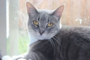"Adult Female Cat - Tabby: ""Billy"""