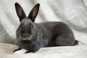 "Adult Male Rabbit - Dutch: ""Dixon"""