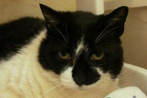 "Adult Female Cat - Domestic Short Hair-black and white: ""Rilla"""