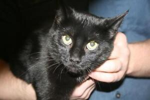 """Young Female Cat - Domestic Short Hair-black: """"Letty"""""""
