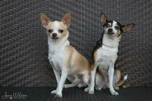 "Adult Female Dog - Chihuahua: ""Maggie and Junior"""