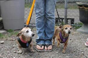 "Senior Female Dog - Dachshund: ""Rudy and Angel"""