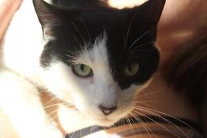 Senior Female  - Tuxedo-Domestic Short Hair-black and white West Island Greater Montréal image 2