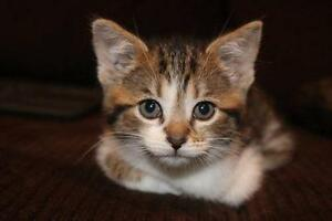 "Baby Female Cat - Bengal-Tabby - Brown: ""ROSIE"""