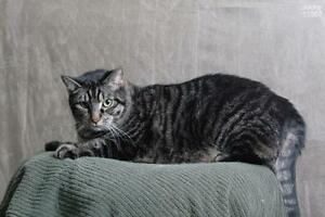 """Adult Male Cat - Domestic Short Hair: """"Ceasar"""""""