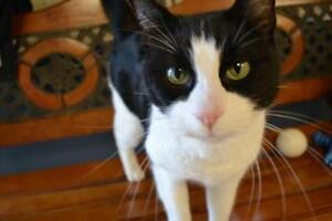 """Adult Male Cat - Domestic Short Hair: """"Domino"""""""