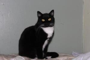 "Adult Female Cat - Domestic Short Hair (Black & White): ""Babs"""