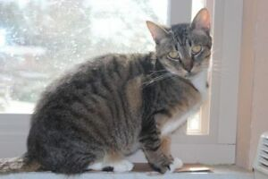 "Adult Female Cat - Tabby: ""Pansy"""