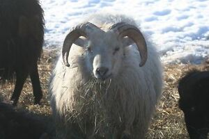 Icelandic Sheep Ram - Young and Handsome