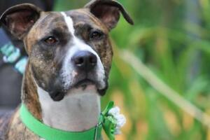 """Adult Female Dog - Pit Bull Terrier: """"Coco"""""""