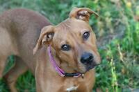 """Young Female Dog - American Staffordshire Terrier: """"Mercedes"""""""