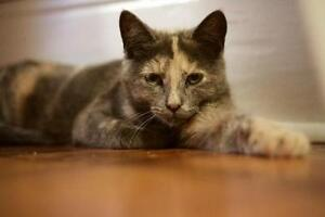 "Young Female Cat - Dilute Tortoiseshell: ""ROSIE & SAM"""