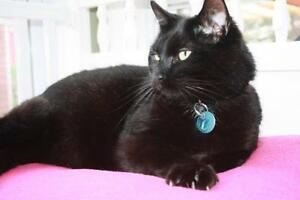 "Adult Male Cat - Domestic Short Hair-black: ""Liam"""