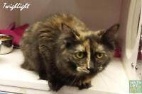 "Young Female Cat - Ragdoll-Domestic Short Hair: ""Twighlight"""