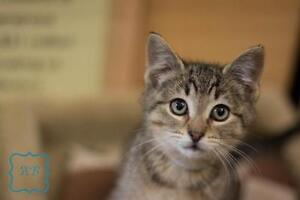 "Baby Male Cat - Domestic Short Hair-Tabby: ""Amos"""