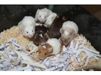 4 week old mice free to good home