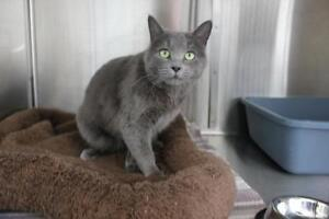 """Young Female Cat - Domestic Short Hair-gray: """"Manny"""""""