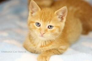 "Baby Male Cat - Tabby - Orange: ""Autumn"""
